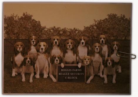 beagles-fox-cinebug